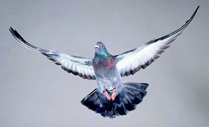 Flying the blue pigeon could land you in jail
