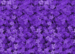 pretty_field_of_purple_flowers